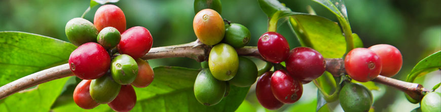 The coffee plant Coffea