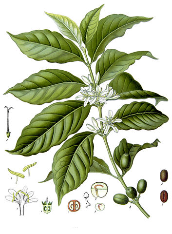 Coffea coffee plant