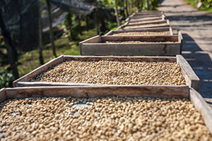 Dry processing of coffee
